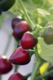 Chili peppers cherry calabrese Royalty Free Stock Photography