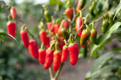 Chili peppers on field Stock Images