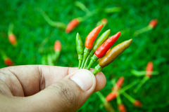 The chili peppers freshest and hottest, On hand and lawn Stock Photography