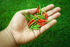 The chili peppers freshest and hottest, On hand and lawn Stock Image