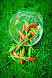 The chili peppers freshest and hottest, On hand and lawn Stock Images