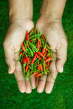 The chili peppers freshest and hottest, On hand and lawn Royalty Free Stock Photo