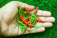 The chili peppers freshest and hottest, On hand and lawn Stock Photo