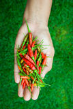 The chili peppers freshest and hottest, On hand and lawn Royalty Free Stock Images