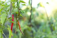 Chili peppers in garden Royalty Free Stock Image