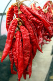 Chili Peppers. Hanging and drying on a string stock photography