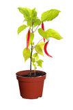 Chili peppers on plant in pot Royalty Free Stock Image