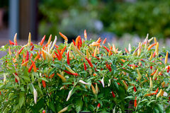 Chili peppers. Red, yellow, orange and green chili pepper plants Stock Photos