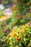 Chili pieprz w ogródzie Obraz Stock