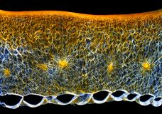 Chili pieprzu naowocni owocowy przekrój poprzeczny (Capsicum annuum) Obraz Royalty Free