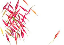 Chili pieprzy akwareli tło Obraz Stock