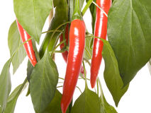 The chili plant. Red chili peppers on a plant isolated Royalty Free Stock Images