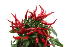 Chili plant (red hot spice) Royalty Free Stock Photo