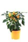 Chili plant yellow isolated Stock Image