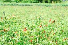 Chili plantation Royalty Free Stock Image