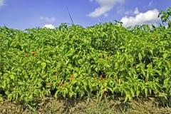 Chili Plantation Stock Image