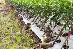 Chili planted with bamboo frame. Royalty Free Stock Photography