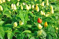 Chili plants Stock Image