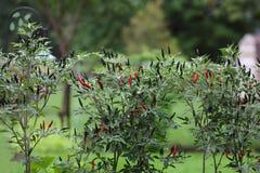Chili Plants caldo Immagine Stock Libera da Diritti