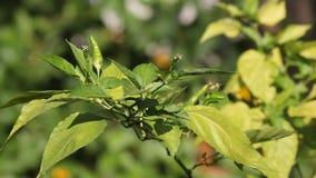 Chili ptaka lub padi oka chili zdjęcie wideo