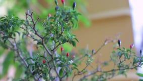 Chili roślina w przemysłowym środowisku zbiory wideo