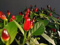 Chili roślina Zdjęcia Royalty Free