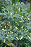 Chili rośliny Zdjęcia Royalty Free