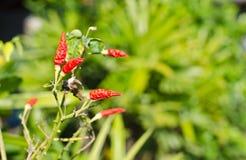 Chili's disease Royalty Free Stock Photos