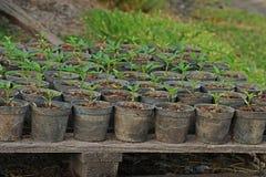 Chili seedling for transplanting stock image