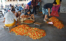 Chili. Traders sort the chili in a market in the town of Solo, Central Java, Indonesia royalty free stock photos