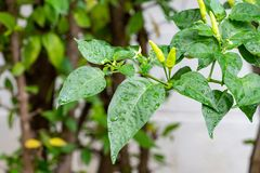 Chili on the tree royalty free stock images