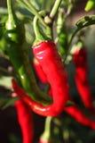Chili w ogródzie fotografia royalty free