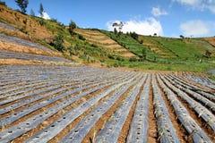 chili wzgórza plantacja Zdjęcie Royalty Free