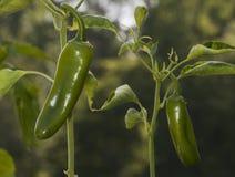 chilies Royaltyfri Bild