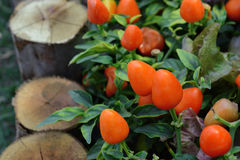 Chilies growing in a vegetable garden Stock Images