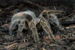 Chilijczyk Różana tarantula (Grammostola Rosea) fotografia royalty free