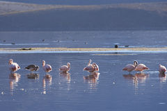 Chilijscy flamingi na Altiplano Północny Chile Fotografia Royalty Free