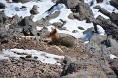 Chilijski lis zakłada wędrować przy górą w Chile Obraz Royalty Free