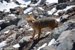 Chilijski lis zakłada wędrować przy górą w Chile Obrazy Stock