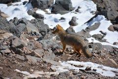 Chilijski lis zakłada wędrować przy górą w Chile Fotografia Stock