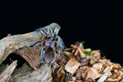 Chilijskiego włosy tarantuli Grammostola różany rosea zdjęcia royalty free