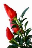 chilipeppar Royaltyfri Fotografi