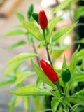 Chilipeppar som växer i trädgård Arkivfoton