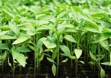 Chiliplanta Arkivfoton