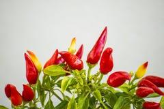 Chilis на заводе Стоковые Изображения RF