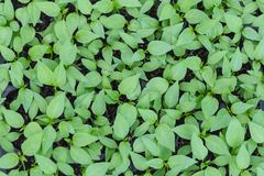 Chilis plant in nursery house Stock Images