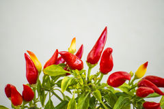Chilis at a plant Royalty Free Stock Images