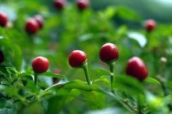 Chilis rojo redondo Fotos de archivo