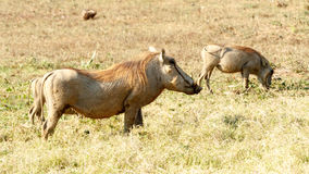 Chill - Phacochoerus africanus The common warthog. Chill - Phacochoerus africanus - The common warthog is a wild member of the pig family found in grassland royalty free stock images