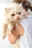 Chilld With A Persian Kitten Royalty Free Stock Photography